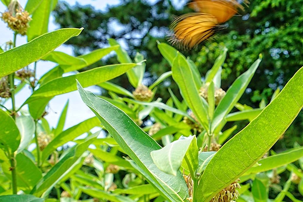 Monarch Butterfly in Garden